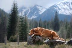 Persiga el perro perdiguero tocante del pato de Nova Scotia en las montañas imagen de archivo libre de regalías