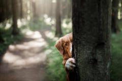 Persiga el perro perdiguero tocante del pato de Nova Scotia que oculta detrás de un árbol fotografía de archivo
