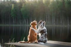 Persiga el perro perdiguero tocante del pato de Nova Scotia y el border collie encendido Fotografía de archivo libre de regalías