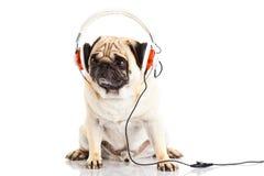 Persiga el pugdog con el auricular aislado en el fondo blanco Imagen de archivo