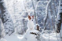 Persiga el retrato de un terrier de Jack Russell en la naturaleza en nieve del invierno imágenes de archivo libres de regalías