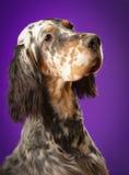Persiga el retrato en fondo púrpura, en el estudio, vertical Fotos de archivo