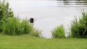 Persiga el rottweiler que juega en agua con un palillo
