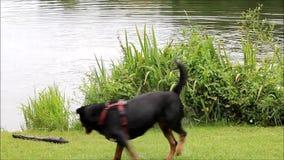 persiga el rottweiler que juega en el lago con un palillo metrajes