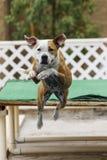 Persiga el salto del muelle en la piscina Fotografía de archivo