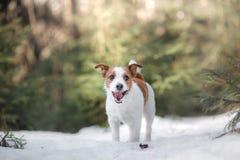 Persiga el terrier de Russel del enchufe al aire libre en el bosque, feliz imagen de archivo