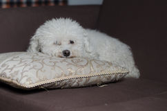 Persiga em um sofá 2 Fotografia de Stock Royalty Free