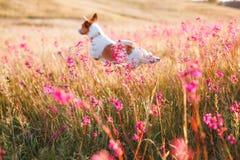 Persiga en las flores Jack Russell Terrier Fotografía de archivo libre de regalías