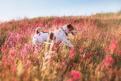 Persiga en las flores Jack Russell Terrier Imágenes de archivo libres de regalías