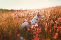 Persiga en las flores Jack Russell Terrier Fotografía de archivo