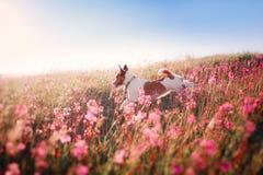Persiga en las flores Jack Russell Terrier Imagen de archivo libre de regalías