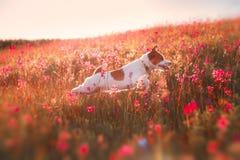 Persiga en las flores Jack Russell Terrier Foto de archivo libre de regalías