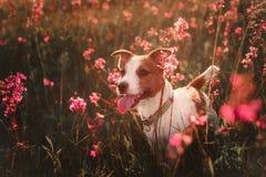Persiga en las flores Jack Russell Terrier Imagen de archivo