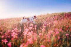Persiga en las flores Jack Russell Terrier Fotos de archivo libres de regalías