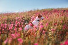 Persiga en las flores Jack Russell Terrier Fotos de archivo