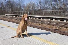 Persiga a espera de seu mestre à estação rural, dia de mola Foto de Stock Royalty Free