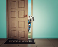 Persiga esperar cerca de la puerta con el correo de cuero, listo para ir para un paseo con su dueño Fotografía de archivo