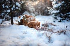 Persiga fora em árvores de Natal, humor do inverno Fotos de Stock