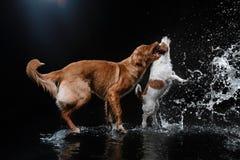 Persiga Jack Russell Terrier e o cão Nova Scotia Duck Tolling Retriever, cães joga, salta, corre, move-se na água Fotografia de Stock