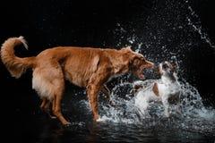Persiga Jack Russell Terrier e o cão Nova Scotia Duck Tolling Retriever, cães joga, salta, corre, move-se na água Imagem de Stock Royalty Free