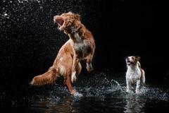 Persiga Jack Russell Terrier e o cão Nova Scotia Duck Tolling Retriever, cães joga, salta, corre, move-se na água Imagens de Stock Royalty Free
