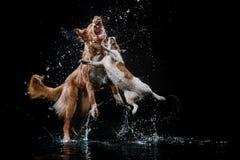 Persiga Jack Russell Terrier e o cão Nova Scotia Duck Tolling Retriever, cães joga, salta, corre, move-se na água Fotografia de Stock Royalty Free