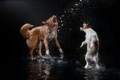 Persiga Jack Russell Terrier e o cão Nova Scotia Duck Tolling Retriever, cães joga, salta, corre, move-se na água Fotos de Stock