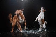 Persiga Jack Russell Terrier e o cão Nova Scotia Duck Tolling Retriever, cães joga, salta, corre, move-se na água Imagens de Stock