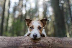 Persiga a Jack Russell Terrier que mira a escondidas hacia fuera de detrás un árbol foto de archivo libre de regalías