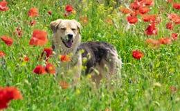 Persiga jugar en el campo de la amapola en tiempo de primavera Fotos de archivo