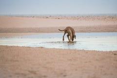 Persiga la búsqueda para algo en el agua por la orilla del agua en la playa de Paarden Eiland en la salida del sol Fotografía de archivo