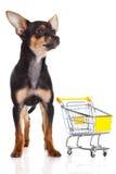Persiga la chihuahua con la carretilla de las compras aislada en el fondo blanco Foto de archivo libre de regalías