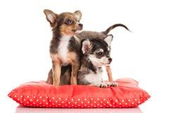 Persiga la chihuahua en la almohada roja aislada en el fondo blanco Foto de archivo libre de regalías