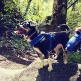 Persiga la lengua del brack de la chihuahua del perrito que pega hacia fuera feliz en la montaña de la escalada Imagen de archivo