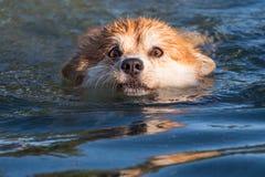 Persiga la natación Imagenes de archivo