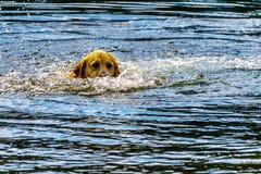 Persiga la natación en el lago cerca de la Columbia Británica de Kamloops, Canadá stake fotografía de archivo libre de regalías