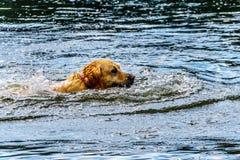 Persiga la natación en el lago cerca de la Columbia Británica de Kamloops, Canadá stake fotos de archivo libres de regalías