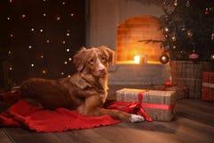 Persiga la Navidad de Nova Scotia Duck Tolling Retriever, el Año Nuevo, los días de fiesta y la celebración Imágenes de archivo libres de regalías