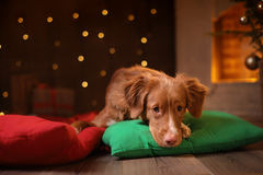 Persiga la Navidad de Nova Scotia Duck Tolling Retriever, el Año Nuevo, los días de fiesta y la celebración Foto de archivo libre de regalías