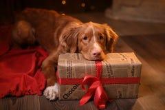 Persiga la Navidad de Nova Scotia Duck Tolling Retriever, el Año Nuevo, los días de fiesta y la celebración Imagen de archivo