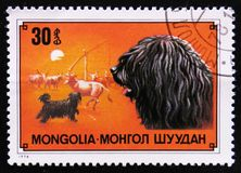 Persiga la raza Puli, perro de pastor de la vaca, circa 1978 Imágenes de archivo libres de regalías