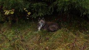 Persiga la reclinación debajo de picea en un claro en el bosque del otoño Foto de archivo libre de regalías