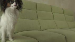 Persiga los saltos divertidos de Papillon en el vídeo de la cantidad de la acción de la cámara lenta del sofá almacen de video