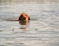 Persiga a natação no lago com a bola na boca Fotografia de Stock Royalty Free