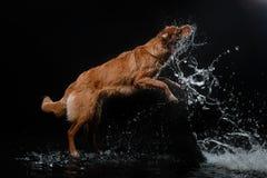 Persiga Nova Scotia Duck Tolling Retriever, cães jogam, saltam, correm, movem-se na água Foto de Stock Royalty Free