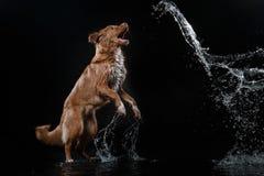 Persiga Nova Scotia Duck Tolling Retriever, cães jogam, saltam, correm, movem-se na água Imagens de Stock Royalty Free
