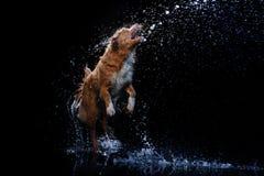 Persiga Nova Scotia Duck Tolling Retriever, cães jogam, saltam, correm, movem-se na água Fotografia de Stock Royalty Free