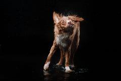 Persiga Nova Scotia Duck Tolling Retriever, cães jogam, saltam, correm, movem-se na água Foto de Stock