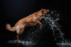 Persiga Nova Scotia Duck Tolling Retriever, cães jogam, saltam, correm, movem-se na água Fotos de Stock