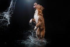 Persiga Nova Scotia Duck Tolling Retriever, cães jogam, saltam, correm, movem-se na água Fotos de Stock Royalty Free
